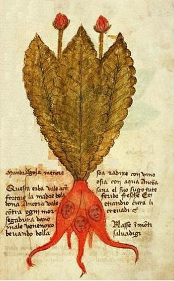lefiguredeilibri.Mandragola-Menore--Herbarium-de-Trento--XV-sec