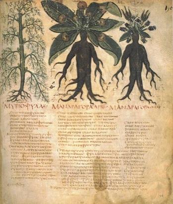 lefiguredeilibri.Dioscurides-napoletano--Mandrake